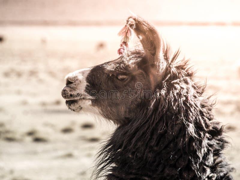 Nahaufnahmeporträt des braunen Lamas, Anden, Südamerika lizenzfreies stockbild