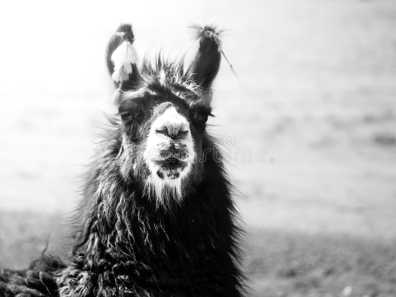 Nahaufnahmeporträt des braunen Lamas, Anden, Südamerika lizenzfreie stockfotografie