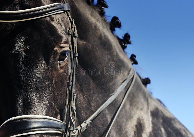 Nahaufnahmeporträt des Dressurreitenpferds mit der umsponnenen Mähne stockbild