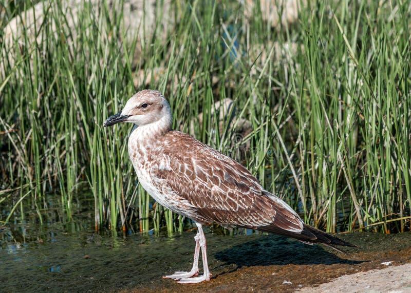 Nahaufnahmeporträt des einzelnen grauen braunen Seemöwenvogels, der auf Sand im grünen Gras geht Schöne helle Naturlandschaft stockbilder