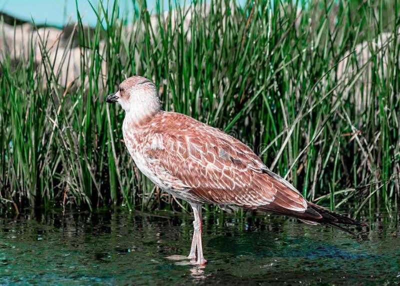 Nahaufnahmeporträt des einzelnen grauen braunen Seemöwenvogels, der auf Ufer im grünen Gras geht Schöne helle Naturlandschaft stockfoto