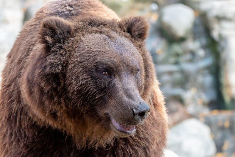 Nahaufnahmeporträt des enormen Pelzbraunbären stockbild