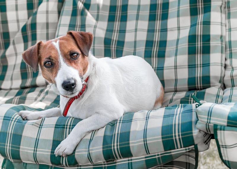 Nahaufnahmeporträt des entzückenden Hundes Jack Russell, das draußen auf grün-blauen karierten Auflagen oder Kissen auf Gartenban stockfotografie