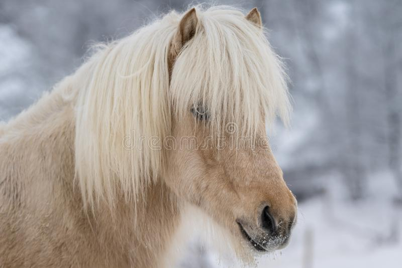 Nahaufnahmeporträt des hellbraunen isländischen Pferds stockfotografie