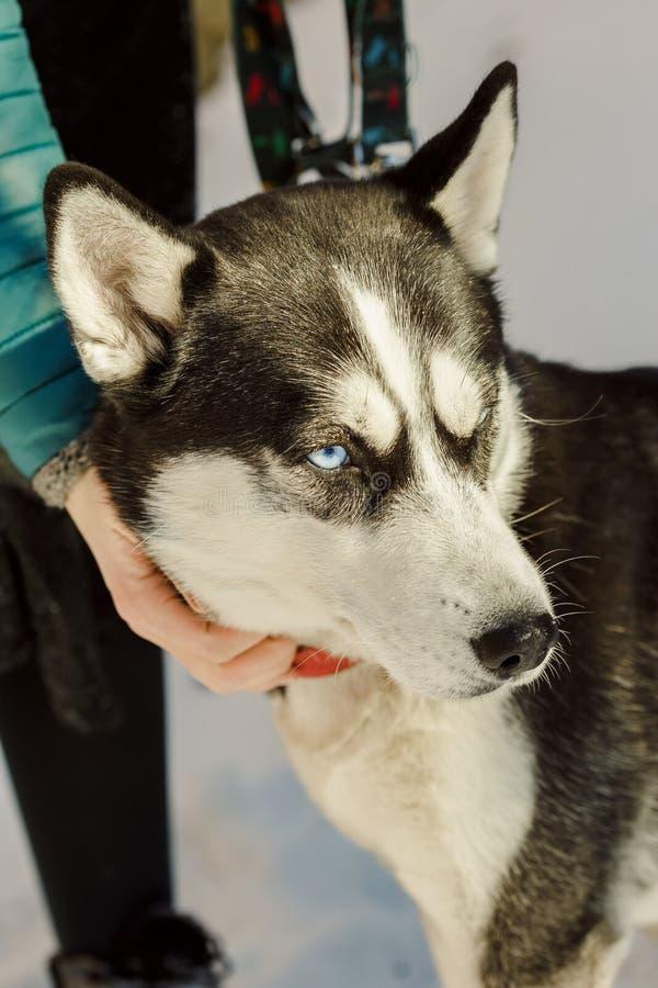 Nahaufnahmeporträt des Hundes des sibirischen Huskys mit einem Haarnetz lizenzfreie stockfotografie