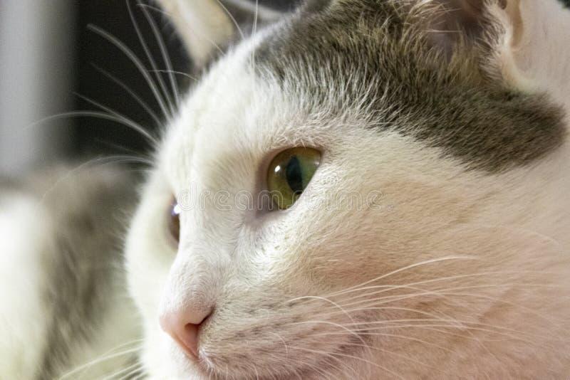 Nahaufnahmeporträt des Kopfes einer grauen und weißen Katze mit schönen bernsteinfarbigen Augen lizenzfreie stockfotos