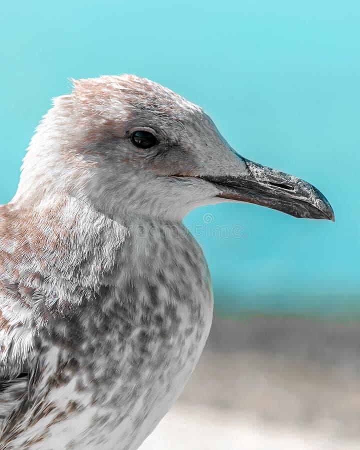 Nahaufnahmeporträt des Kopfes des grauen braunen Seemöwenvogels auf Ufer mit blauem Wasser und Himmel Schönes helles natürliches  lizenzfreies stockfoto