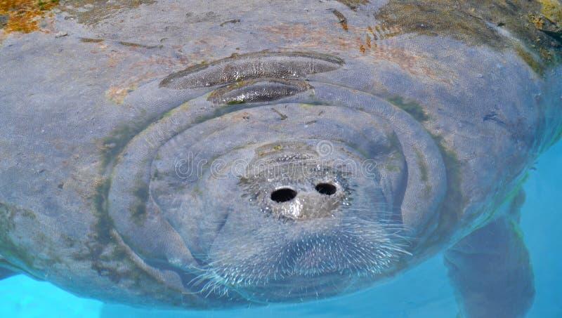 Nahaufnahmeporträt des Manatiss in einem Pool lizenzfreies stockbild