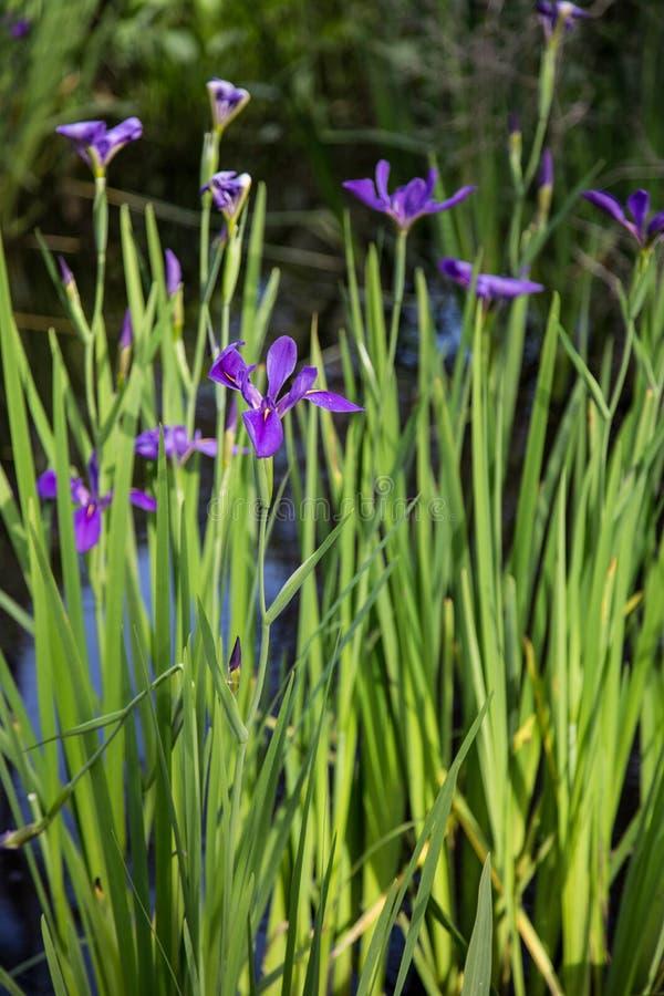Nahaufnahmeporträt des purpurroten Louisiana-Irisblumenwachsens im dunklen Bayousumpf-Wasserhintergrund stockfotografie