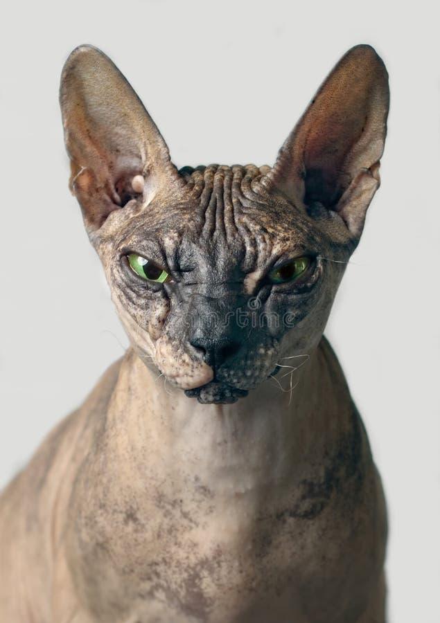 Nahaufnahmeporträt einer Vorderansicht mürrischer sphynx Katze - über grauen Hintergrund stockfotografie