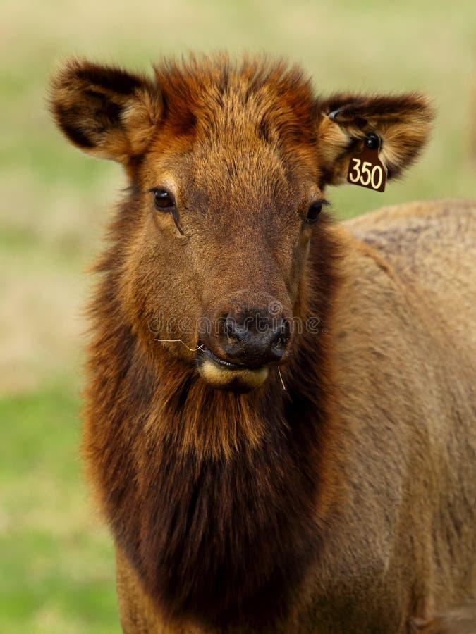 Nahaufnahmeporträt eines Elchs mit Ohrmarken lizenzfreies stockfoto