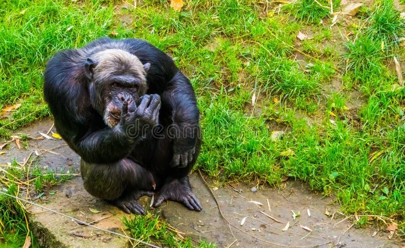 Nahaufnahmeporträt eines großen schwarzen Schimpansen, gefährdeter Primas von Afrika stockfotos