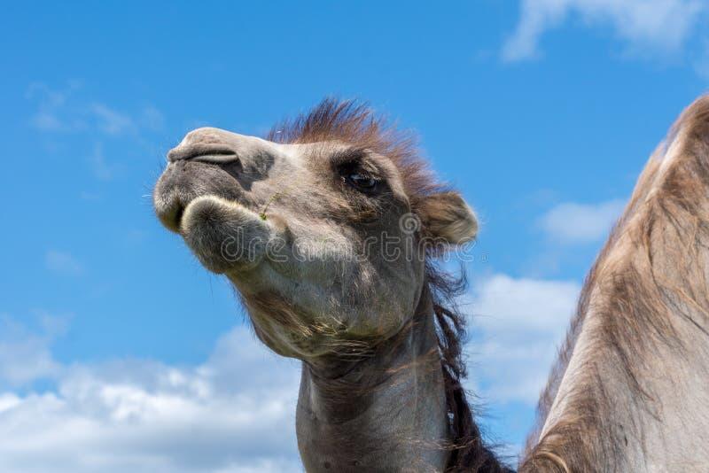Nahaufnahmeporträt eines Kamels, das Gras kaut stockfotografie