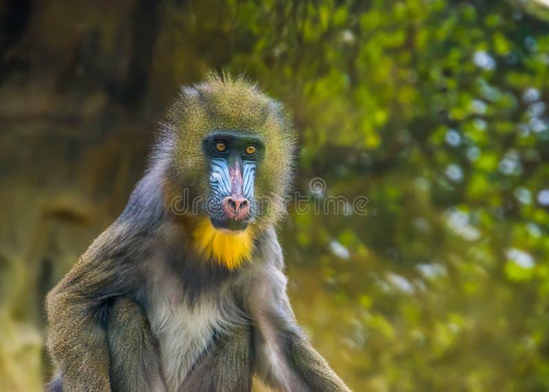 Nahaufnahmeporträt eines Mandrillaffen, verletzbarer Tierspecie, tropischer Primas von Cameroon, Afrika stockfotos