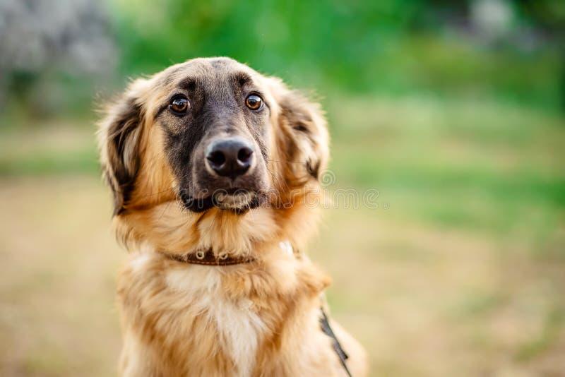 Nahaufnahmeporträt eines netten braunen Hundes stockbilder