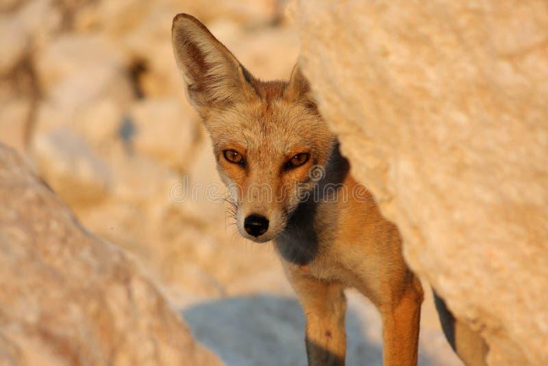 Nahaufnahmeporträt eines roten Fuchses an einem sonnigen Nachmittag lizenzfreie stockfotografie