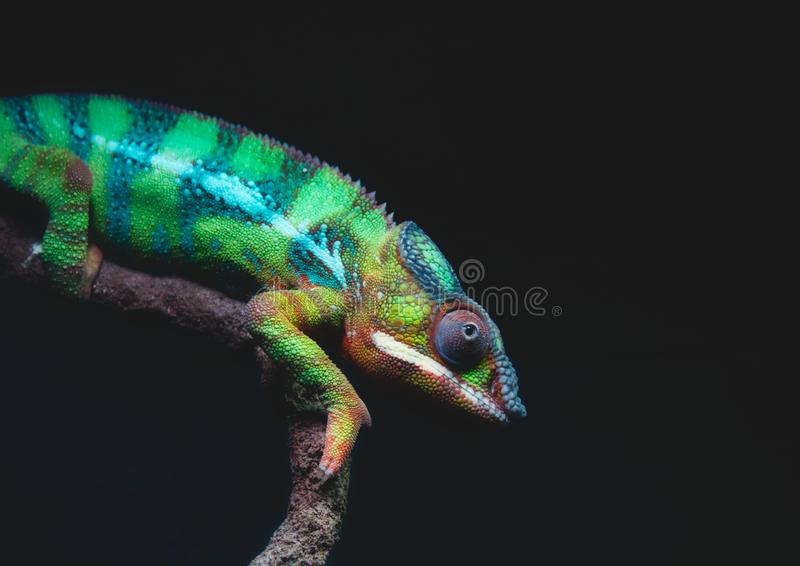 Nahaufnahmeporträt von ein hell farbigen Pantherchamäleon Furcifer-pardalis stockbilder