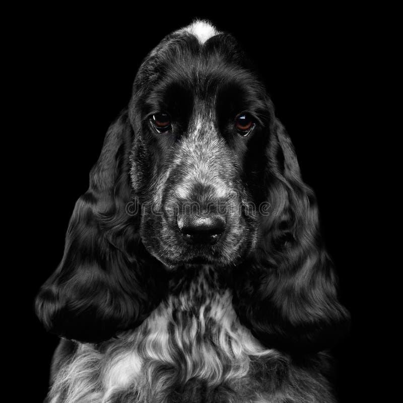 Nahaufnahmeporträt von Hundeenglisch-cocker spaniel-Zucht auf lokalisiertem schwarzem Hintergrund lizenzfreie stockfotos