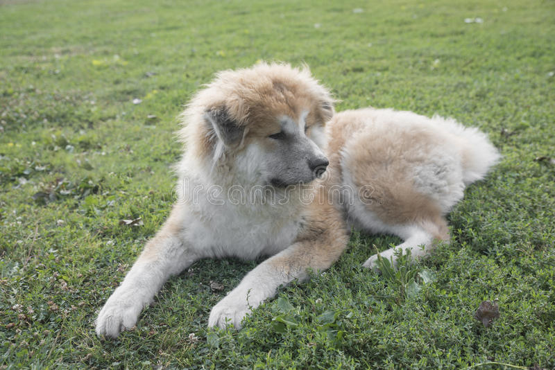 Nahaufnahmeporträt von Jungen von Akita-inu Hund lizenzfreie stockfotografie