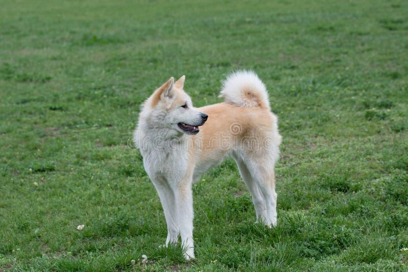 Nahaufnahmeporträt von Jungen von Akita-inu Hund stockfoto