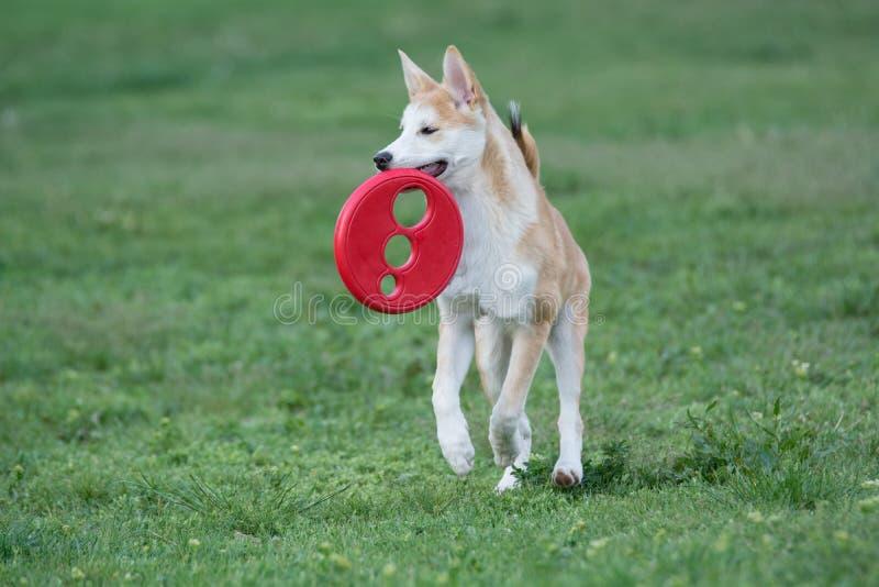 Nahaufnahmeporträt von Jungen von Akita-inu Hund stockfotografie