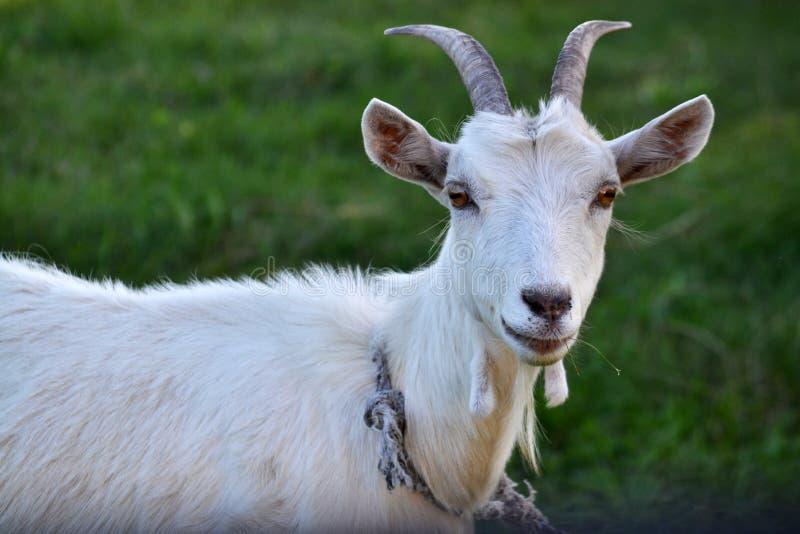 Nahaufnahmeportr?t der wei?en erwachsenen Ziege, die auf gr?nem Sommerwiesenfeld an der Dorflandschaft mit Gras bedeckt lizenzfreies stockfoto
