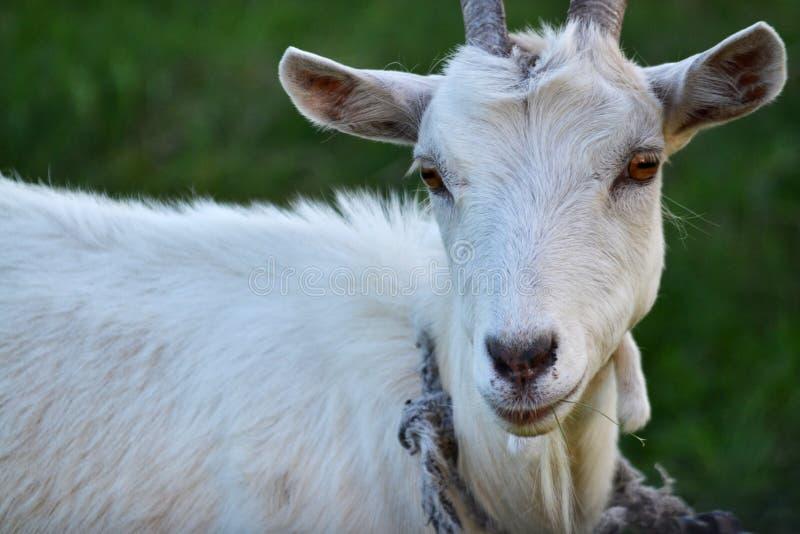 Nahaufnahmeportr?t der wei?en erwachsenen Ziege, die auf gr?nem Sommerwiesenfeld an der Dorflandschaft mit Gras bedeckt stockfoto