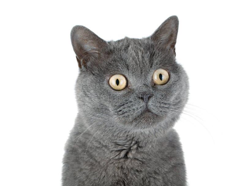 Nahaufnahmeportrait einer grauen Katze stockbilder