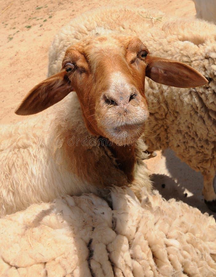 Nahaufnahmeportrait eines kleinen Schafs lizenzfreie stockfotos