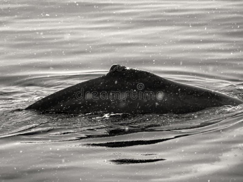 Nahaufnahmerückseite des Buckelwals lizenzfreie stockbilder