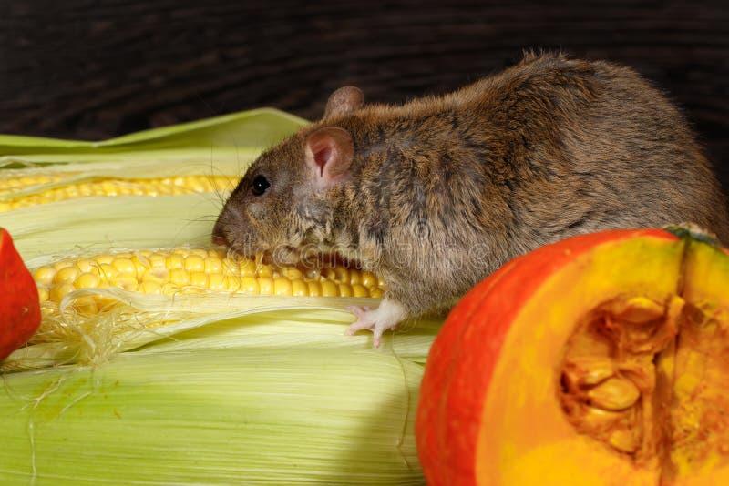 Nahaufnahmeratte, die nach innen Mais nahe rotem Kürbis des Speiseschranks isst lizenzfreie stockbilder