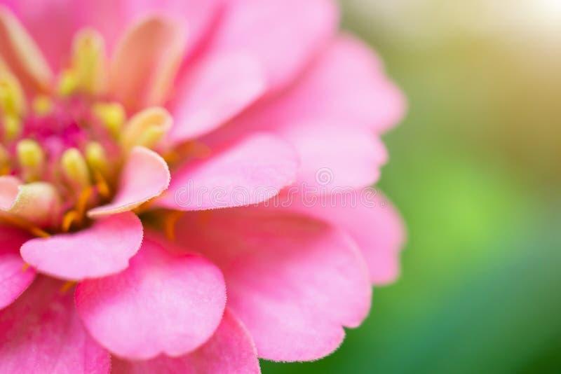 Nahaufnahmerosa Zinniablume im natürlichen Hintergrund des grünen Gartens lizenzfreie stockfotografie
