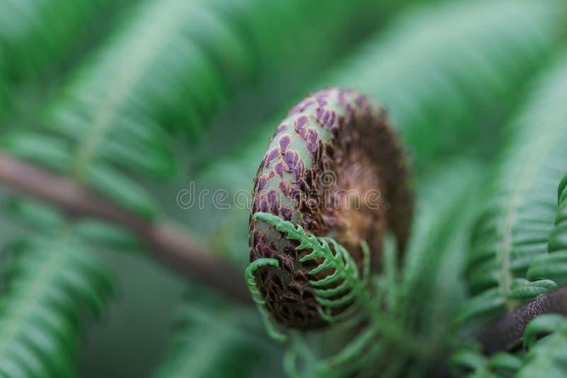 Nahaufnahmeschüsse von grünen und schwarzen Farnblättern kräuselten sich stockbilder