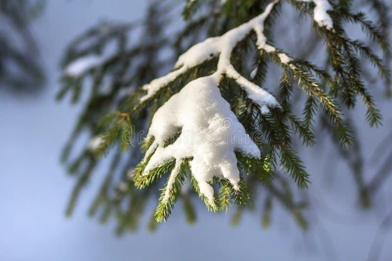 Nahaufnahmeschuß des Tannenbaums verzweigt sich mit den grünen Nadeln, die mit tiefem frischem sauberem Schnee auf unscharfem Bla lizenzfreie stockfotografie