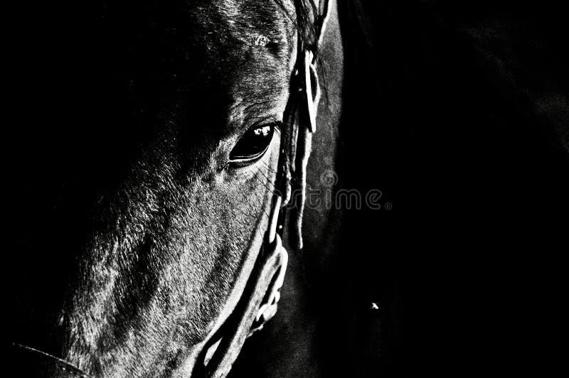 Nahaufnahmeschwarzweißaufnahme eines Pferdekopfs, der unten schaut stockfoto