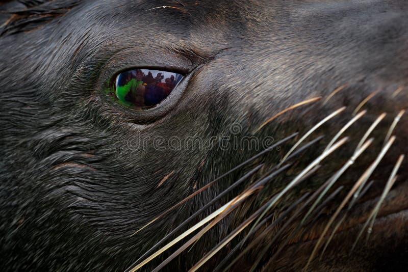 Nahaufnahmetierporträt mit Gruppe von Personenen-Spiegel im großen Auge Kap-Südafrikanischer Seebär, Arctocephalus pusillus, Sond lizenzfreie stockbilder