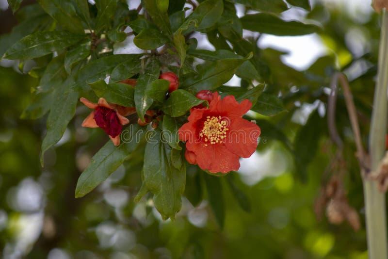 Nahaufnahmetrieb des Granatapfelbaums stockfoto