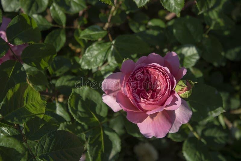 Nahaufnahmetrieb von Rosa Abraham Darby-Blume Im Rosa stockfoto