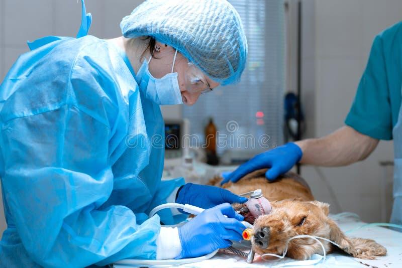 Nahaufnahmeverfahren von den Berufsz?hnen, die Hund in einer Veterin?rklinik s?ubern Bet?ubter Hund mit Sensor auf Zunge haustier lizenzfreie stockfotos