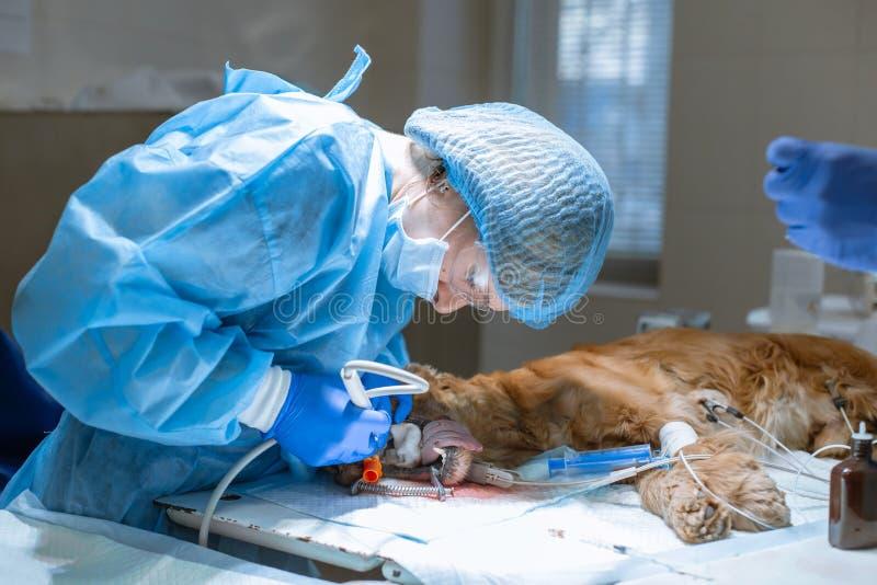 Nahaufnahmeverfahren von den Berufsz?hnen, die Hund in einer Veterin?rklinik s?ubern Bet?ubter Hund mit Sensor auf Zunge haustier stockfoto