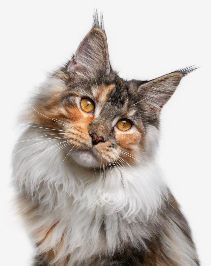 Nahaufnahmeweiß mit Ingwer Maine Coon-Katze stockbilder