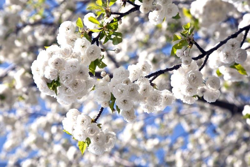 Nahaufnahmezweig der Blüte im Frühjahr lizenzfreie stockfotos