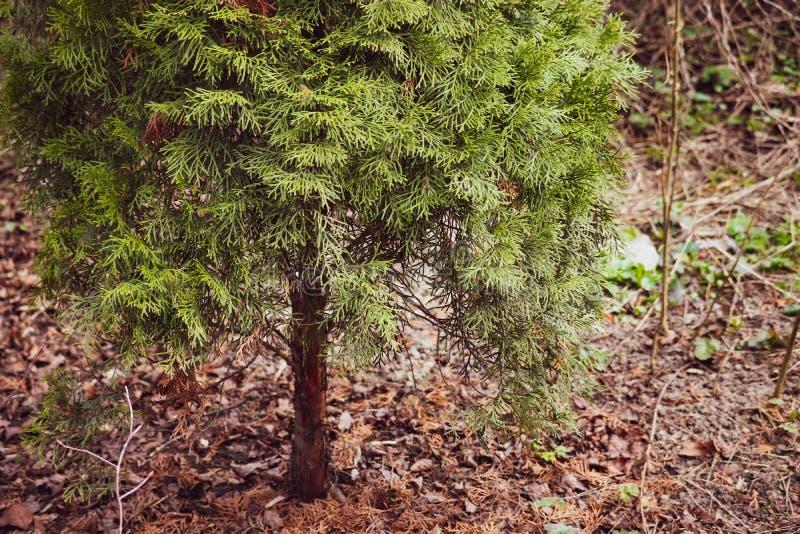 Nahe Ansicht Ð-¡ onifer Baums in einen Park lizenzfreies stockfoto
