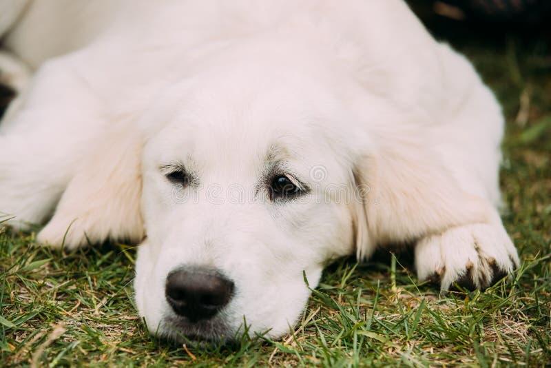 Nahe Ansicht der schönen weißen Hunde-Labrador-Welpen-Welpe, die im grünen Gras liegt lizenzfreies stockfoto