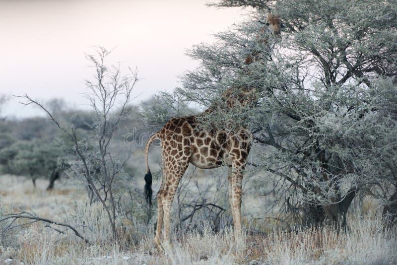 Nahe Ansicht des dünnen Grüns namibischen Giraffenessens verlässt stockfotos