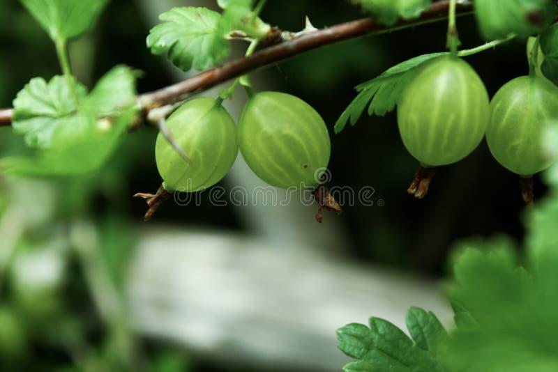 Nahe Ansicht, die von den frischen grünen Stachelbeeren wachsen im Garten ist stockbilder