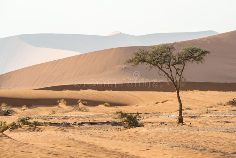 Nahe Ansicht eines einsamen grünen Baums und enormen der Sand Namibier-Dünen stockfoto