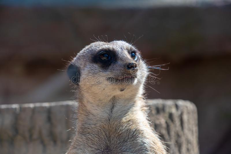 Nahe Ansicht eines Meerkat-Kopfes stockfoto