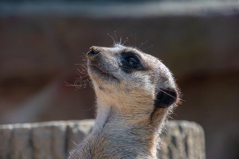 Nahe Ansicht eines Meerkat-Kopfes stockbilder