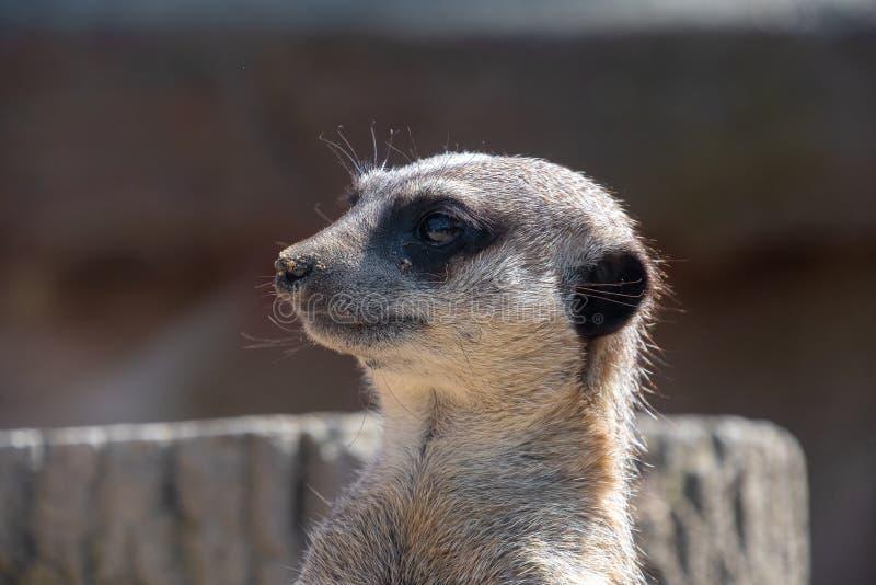 Nahe Ansicht eines Meerkat-Kopfes lizenzfreies stockfoto